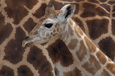 Rothschild Giraffe (Giraffa camelopardalis rothschildi) calf, native to Africa  -  ZSSD