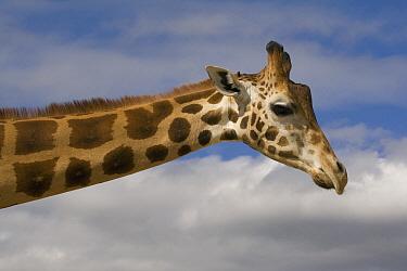 Rothschild Giraffe (Giraffa camelopardalis rothschildi), native to Africa  -  ZSSD