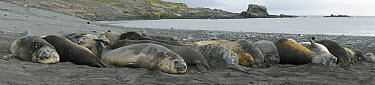 Southern Elephant Seal (Mirounga leonina) group on beach, South Shetland Islands, Antarctica  -  Hiroya Minakuchi