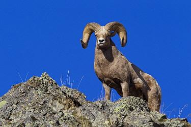 Bighorn Sheep (Ovis canadensis) ram, western Montana  -  Donald M. Jones