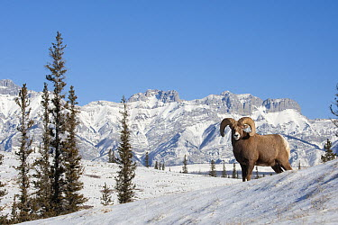 Bighorn Sheep (Ovis canadensis) ram, western Alberta, Canada  -  Donald M. Jones