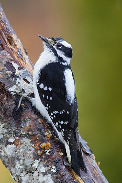 Downy Woodpecker (Picoides pubescens) female, western Montana  -  Donald M. Jones