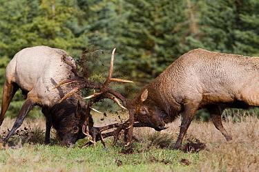 American Elk (Cervus elaphus nelsoni) bulls sparring, western Alberta, Canada  -  Donald M. Jones