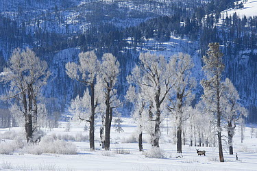 American Elk (Cervus elaphus nelsoni) bull in snow, Yellowstone National Park, Wyoming  -  Donald M. Jones