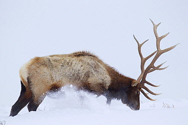 American Elk (Cervus elaphus nelsoni) bull digging snow for forage, Yellowstone National Park, Wyoming  -  Donald M. Jones