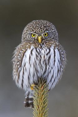 Mountain Pygmy-Owl (Glaucidium gnoma), northwestern Montana  -  Donald M. Jones