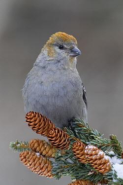 Pine Grosbeak (Pinicola enucleator) female in pine, western Montana  -  Donald M. Jones