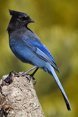Steller's Jay (Cyanocitta stelleri), western Montana  -  Donald M. Jones