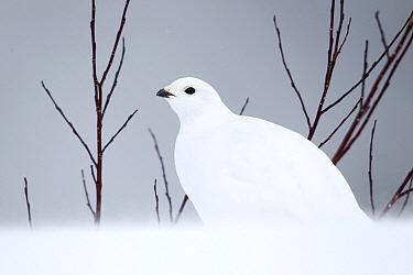 White-tailed Ptarmigan (Lagopus leucura) in winter plumage in snow, Bow Summit, Alberta, Canada  -  Donald M. Jones
