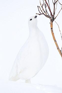 White-tailed Ptarmigan (Lagopus leucura) in winter plumage in snow foraging, Bow Summit, Alberta, Canada  -  Donald M. Jones
