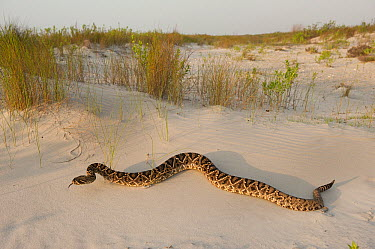 Eastern Diamondback Rattlesnake (Crotalus adamanteus), Little St. Simon's Island, Georgia  -  Pete Oxford
