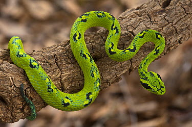 Yellow-blotched Palm Pitviper (Bothriechis aurifer), native to southern Mexico and northern Guatemala  -  Pete Oxford