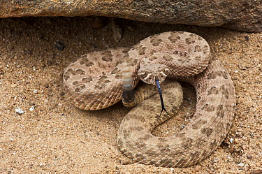 Grand Canyon Rattlesnake (Crotalus oreganus abyssus) in defensive posture shaking rattle, native to Arizona  -  Pete Oxford