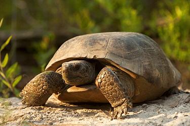 Florida Gopher Tortoise (Gopherus polyphemus) female, Georgia  -  Pete Oxford