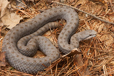Twin-spotted Rattlesnake (Crotalus pricei) amid pine needles, native to Mexico and the United States  -  Pete Oxford