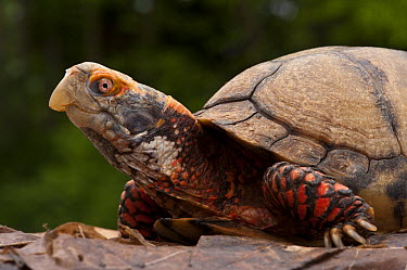 Mexican Box Turtle (Terrapene carolina mexicana), native to Mexico  -  Pete Oxford