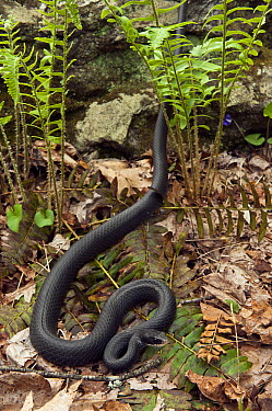 Northern Black Racer (Coluber constrictor constrictor) snake amid ferns, northern Georgia  -  Pete Oxford