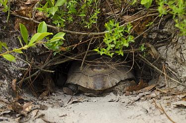 Florida Gopher Tortoise (Gopherus polyphemus) female going into burrow, Georgia  -  Pete Oxford