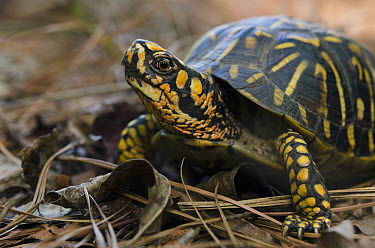 Eastern Box Turtle (Terrapene carolina), native to the eastern United States  -  Pete Oxford