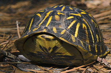 Eastern Box Turtle (Terrapene carolina) retreated in shell, native to the eastern United States  -  Pete Oxford