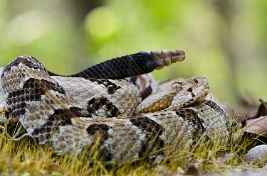 Timber Rattlesnake (Crotalus horridus) in defensive posture showing rattle, native to the southeastern United States  -  Pete Oxford