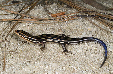 Southeastern Five-lined Skink (Eumeces inexpectatus), native to the southeastern United States  -  Pete Oxford