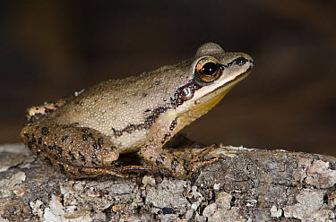 Spring Peeper (Pseudacris crucifer) frog, native to the eastern United States  -  Pete Oxford