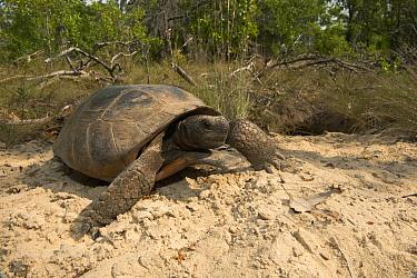 Florida Gopher Tortoise (Gopherus polyphemus) male, Georgia  -  Pete Oxford