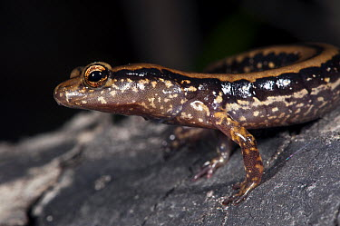 Southern Long-tailed Salamander (Eurycea guttolineata), native to the southeastern United States  -  Pete Oxford