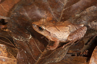Spring Peeper (Pseudacris crucifer) frog camouflaged on leaves, native to the eastern United States  -  Pete Oxford