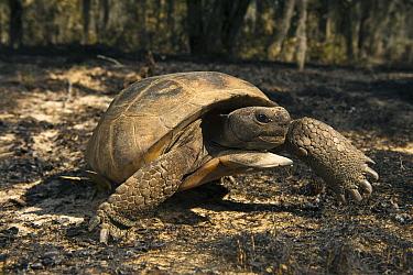 Florida Gopher Tortoise (Gopherus polyphemus) male in burned area, Georgia  -  Pete Oxford