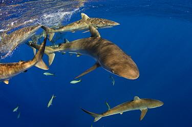 Silky Shark (Carcharhinus falciformis) group swimming near surface, Jardines de la Reina National Park, Cuba  -  Pete Oxford