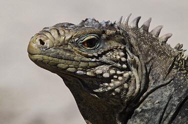 Cuban Iguana (Cyclura nubila), Jardines de la Reina National Park, Cuba  -  Pete Oxford