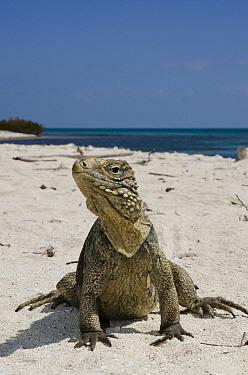 Cuban Iguana (Cyclura nubila) on beach, Jardines de la Reina National Park, Cuba  -  Pete Oxford