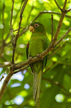 Cuban Parakeet (Aratinga euops) perching in tree, Cuba  -  Pete Oxford
