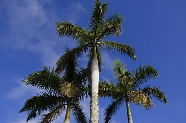 Royal Palm (Roystonea regia) trees, Sierra del Rosario Biosphere Reserve, Cuba  -  Pete Oxford