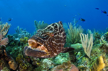 Black Grouper (Mycteroperca bonaci) being cleaned by wrasse over coral reef, Jardines de la Reina National Park, Cuba  -  Pete Oxford