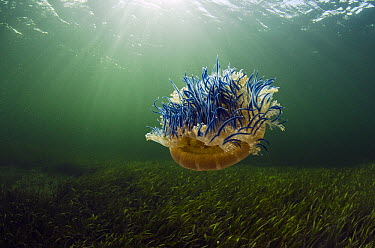 Upside-down Jellyfish (Cassiopea sp), Jardines de la Reina National Park, Cuba  -  Pete Oxford