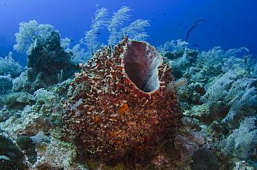 Caribbean Giant Barrel Sponge (Xestospongia muta) on reef, Jardines de la Reina National Park, Cuba  -  Pete Oxford