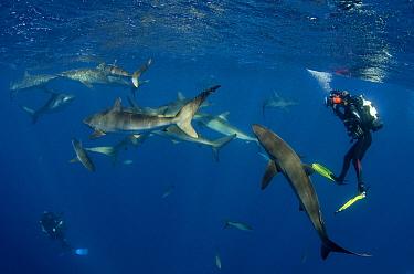 Silky Shark (Carcharhinus falciformis) group and diver, Jardines de la Reina National Park, Cuba  -  Pete Oxford