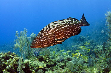 Black Grouper (Mycteroperca bonaci) swimming over reef, Jardines de la Reina National Park, Cuba  -  Pete Oxford