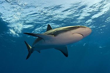 Silky Shark (Carcharhinus falciformis), Jardines de la Reina National Park, Cuba  -  Pete Oxford