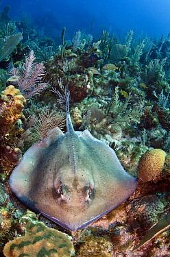 Southern Stingray (Dasyatis americana) on coral reef, Jardines de la Reina National Park, Cuba  -  Pete Oxford