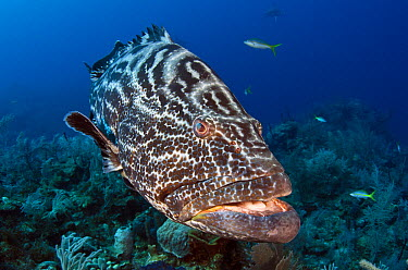 Black Grouper (Mycteroperca bonaci), Jardines de la Reina National Park, Cuba  -  Pete Oxford