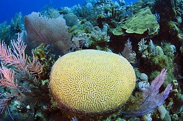 Brain Coral (Diploria labyrinthiformis) on reef, Jardines de la Reina National Park, Cuba  -  Pete Oxford
