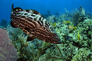Black Grouper (Mycteroperca bonaci) over reef, Jardines de la Reina National Park, Cuba  -  Pete Oxford
