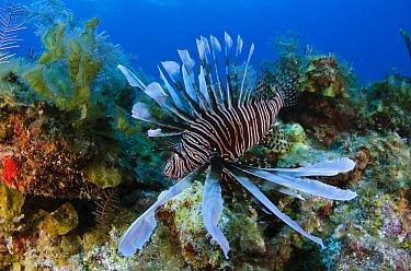 Common Lionfish (Pterois volitans) on reef, Jardines de la Reina National Park, Cuba  -  Pete Oxford