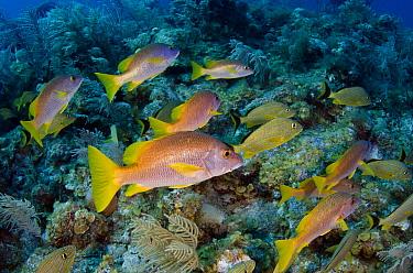 Schoolmaster (Lutjanus apodus) school over reef, Jardines de la Reina National Park, Cuba  -  Pete Oxford