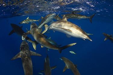 Silky Shark (Carcharhinus falciformis) group feeding, Jardines de la Reina National Park, Cuba  -  Pete Oxford