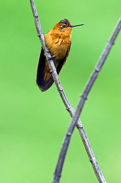 Shining Sunbeam (Aglaeactis cupripennis) hummingbird, base of Chimborazo Volcano, Ecuador  -  Pete Oxford
